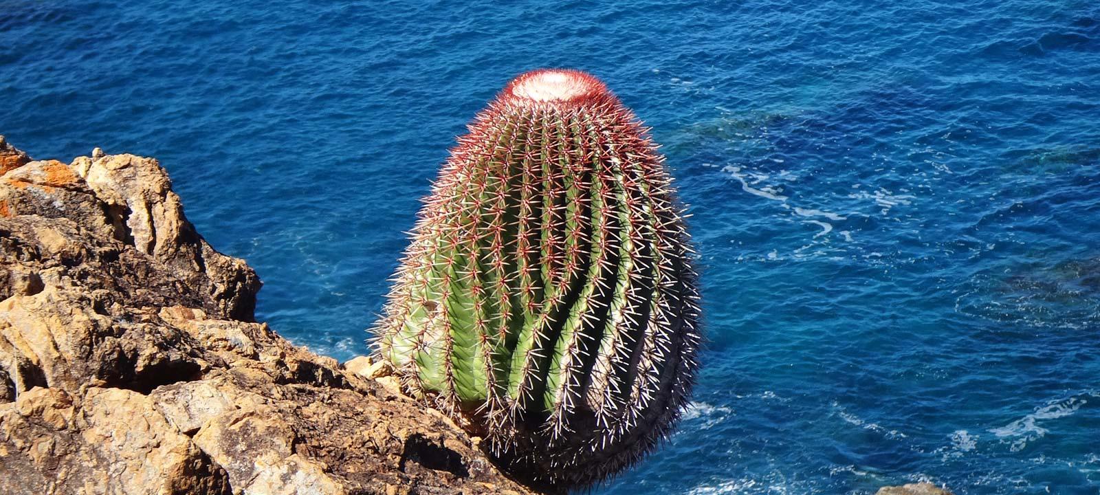 Melocactus sur la réserve de Désirade